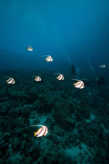 Free Schooling Bannerfish In The Red Sea. Stock Photography - 17880172