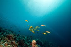 Free Yellowsaddle Goatfish In The Red Sea. Stock Images - 17880764