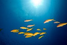 Free Yellowsaddle Goatfish In The Red Sea. Royalty Free Stock Images - 17880799