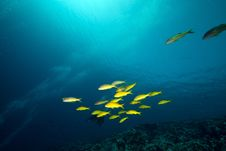 Free Yellowsaddle Goatfish In The Red Sea. Royalty Free Stock Image - 17880886