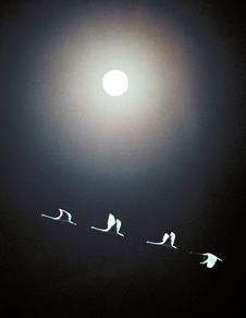 Free Four Geese Under The Moon Stock Image - 17881541
