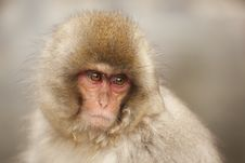 Free Cute Monkey Portrait Royalty Free Stock Photos - 17881648