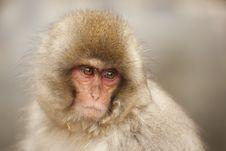 Cute Monkey Portrait Royalty Free Stock Photos
