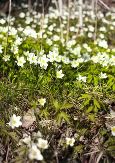 Free White Snowdrops Royalty Free Stock Photo - 17881995