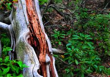 Free Redwood Royalty Free Stock Photo - 17882145