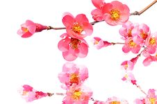 Peach Flowers And Reflection Royalty Free Stock Image