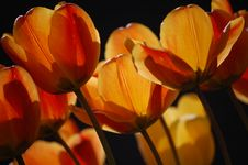 Free Spring Tulips Royalty Free Stock Photography - 17882837