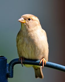 Free Female House Sparrow Royalty Free Stock Photography - 17883517