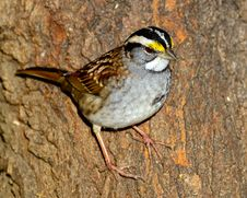 Free White-Throated Sparrow Stock Image - 17883531