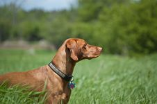 Free Vizsla Dog (Hungarian Pointer) In A Green Field Stock Images - 17884704