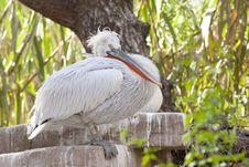 Dalmatian Pelican Resting Stock Photo