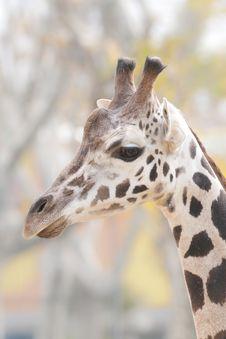 Free Giraffe Portrait Stock Image - 17885221