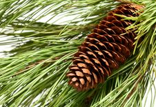 Free Pinecone Stock Photos - 17887033