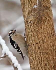 Free Downy Woodpecker, Picoides Pubescens Royalty Free Stock Photo - 17888955