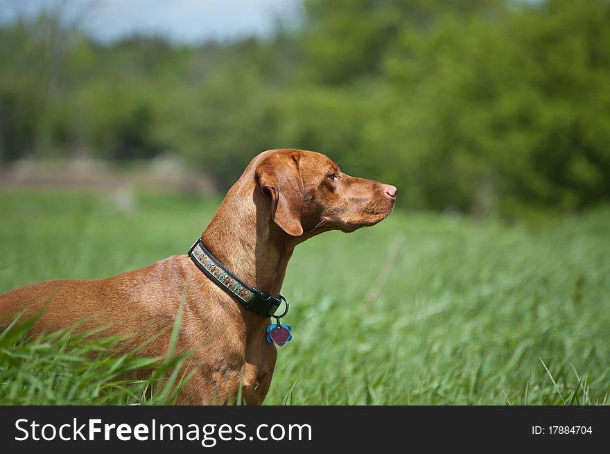 Vizsla Dog (Hungarian Pointer) in a Green Field