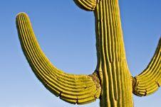 Free Saguaro Cactus Royalty Free Stock Photos - 17890908