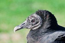 Free Black Vulture Stock Photos - 17891583