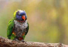 Free Macaw Lorikeet Stock Photos - 17893203