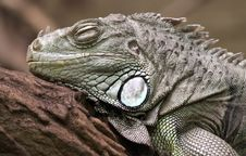 Free Green Iguana 01 Royalty Free Stock Photography - 17894617