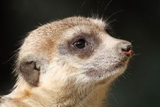 Free Meerkat 01 Royalty Free Stock Images - 17894669