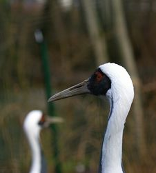 Head Of White-naped Crane (Grus Vipio) Royalty Free Stock Photography