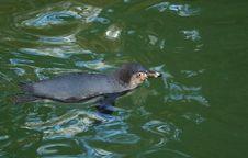Free Humboldt Penguin (Spheniscus Humboldti) Stock Images - 17895764