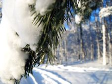 Free Winter Fir Tree Royalty Free Stock Image - 17896626