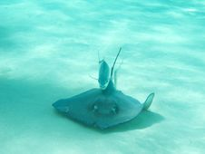 Free Stingray Followed By Fish Stock Photo - 17897370