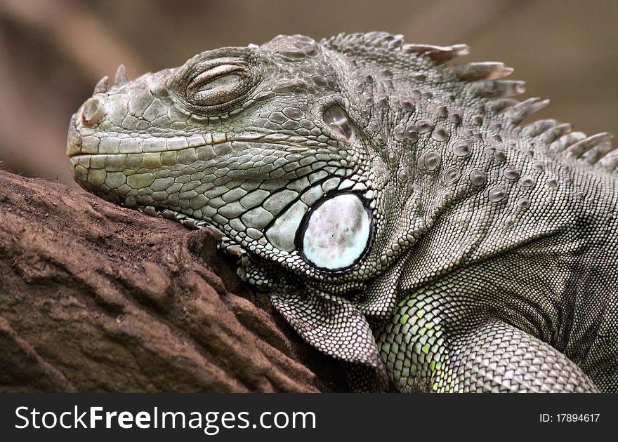 Green Iguana 01