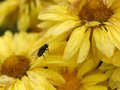 Free Fly On Yellow Flowers Stock Images - 1799074