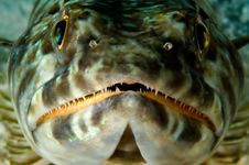 Free Caribbean Lizardfish Royalty Free Stock Photography - 1790297