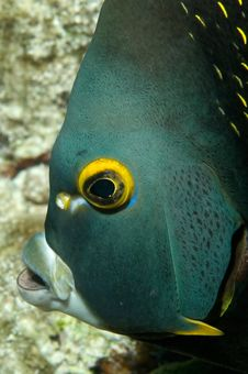 Caribbean French Angelfish Stock Images