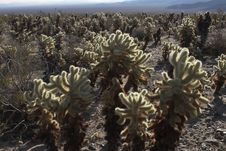Free Cholla Cactus Royalty Free Stock Photos - 1791138