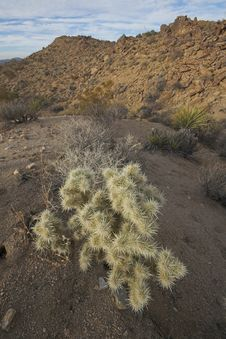 Free Cholla Cactus Royalty Free Stock Photo - 1791185