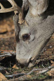 Free Mule Deer Stock Image - 1791231