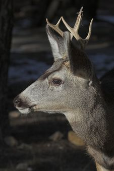Free Mule Deer Stock Photography - 1791232