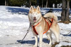 Harnessed Husky Royalty Free Stock Images