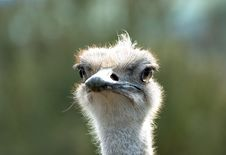 Free Ostrich Royalty Free Stock Photos - 1791898