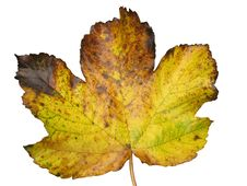 Free Golden Leaf Stock Images - 1792964
