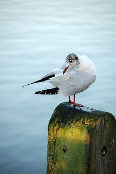 Free Preening Black-headed Gull Royalty Free Stock Photography - 1793997