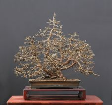 Free Larch Bonsai In Winter Stock Photo - 1794940