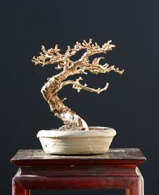 European Larch Bonsai In Winter Royalty Free Stock Images