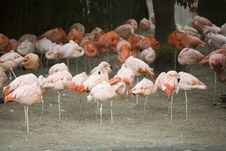 Free Flamingos 2 Royalty Free Stock Photos - 1795348