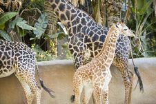 Free Giraffes Stock Images - 1795354