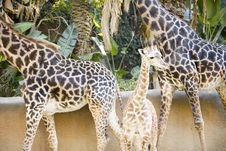 Free Giraffes Royalty Free Stock Images - 1795359