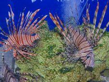 Free Lion Fish Stock Photography - 1795972