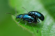 Free Nature Beetle Mating Royalty Free Stock Photos - 1796868