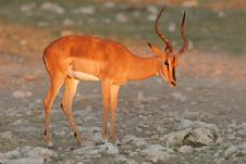 Free Black-faced Impala Royalty Free Stock Photography - 1797067