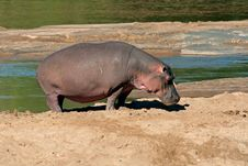Free Hippopotamus Stock Photo - 1797080