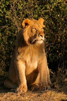 Free Young Male Lion Stock Photography - 1797112